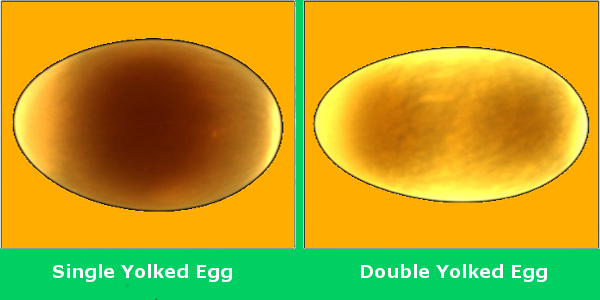 Single Yolked Egg and Double Yolked Egg Using Candling
